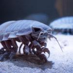 ダイオウグソクムシの繁殖方法や時期について!