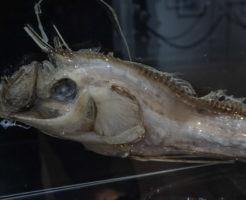 リュウグウノツカイ 大きさ 特徴