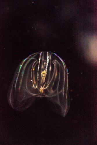 クシクラゲ モザイク卵